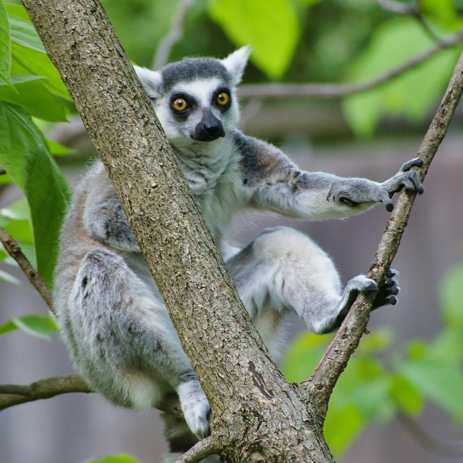 Shocked Lemur